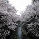 神田川、江戸川公園の桜②