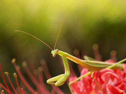 の 一生 カマキリ カマキリの生態について!実はゴキブリ類だったってマジ??